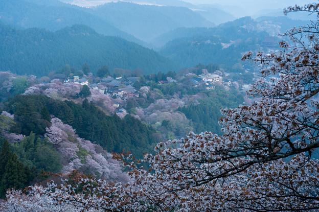 吉野桜-06328