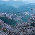 Photos: 吉野桜-06328