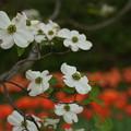 花みずきDSC07248