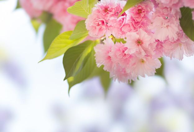 八重桜藤空-07471
