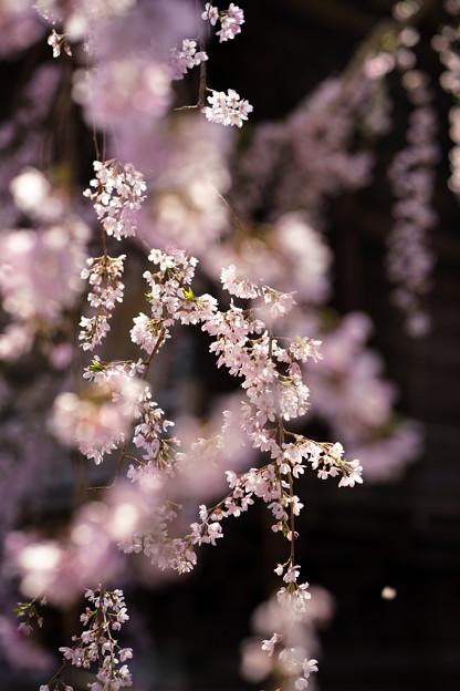 道成寺枝垂桜-04755