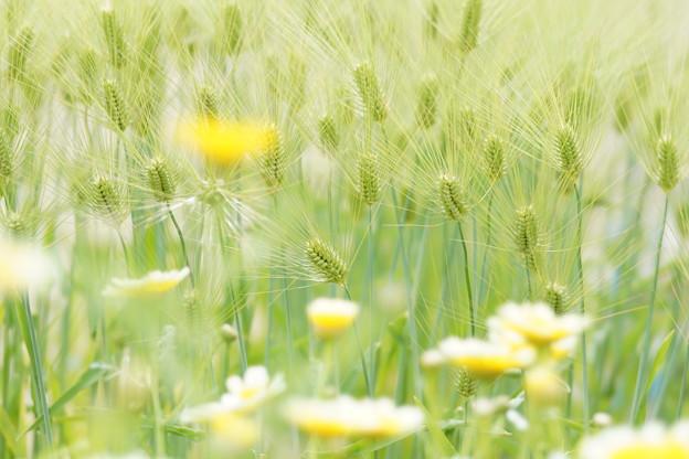 麦と春菊DSC09042