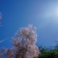 smoketree_DSC09533_ed