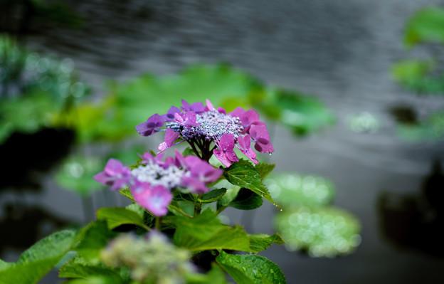 写真: アジサイと池-08746
