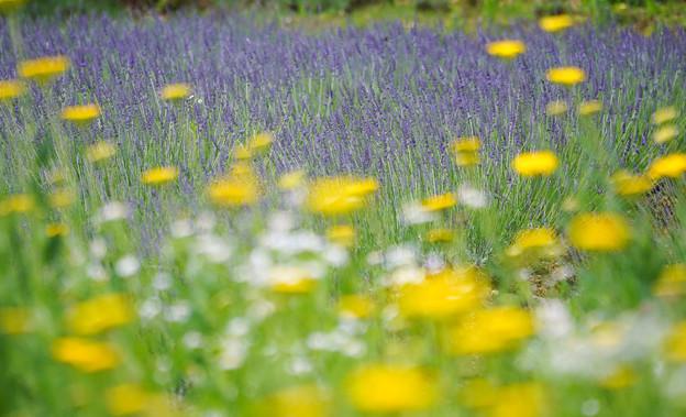 lavenderDSC01083_ed