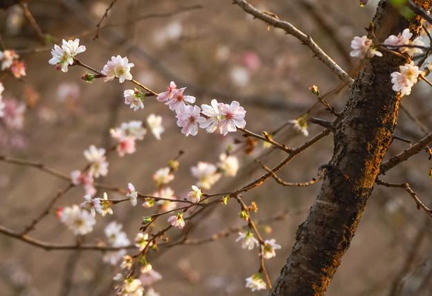 十月桜DSC00037_ed2
