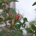 rose_DSC03161_ed