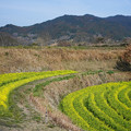 Photos: 稲渕菜の花DSC03697_ed