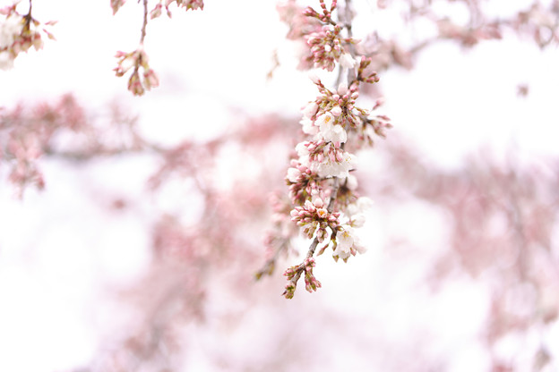 彼岸枝垂桜ーC-05220