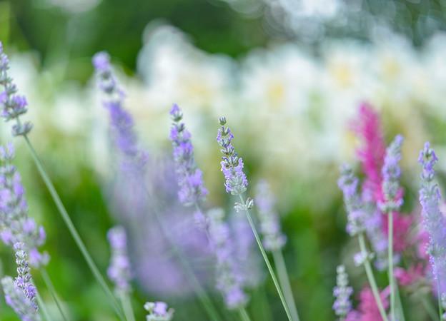 lavenderDSC08534_ed