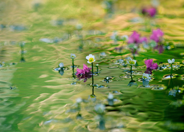 梅花藻150-1063