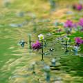 Photos: 梅花藻150-1063