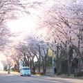 写真: 千葉の桜