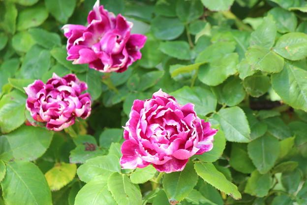 芍薬っぽいバラ