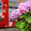Photos: 街角紫陽花
