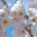 写真: 白き梅