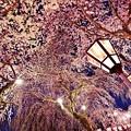 写真: 三嶋大社の夜桜が恋しくて・・・櫻回廊