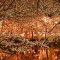 三嶋大社の夜桜が恋しくて・・・爛漫