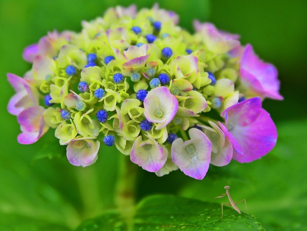 写真: 魅せられて・・・紫陽花