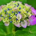 魅せられて・・・紫陽花