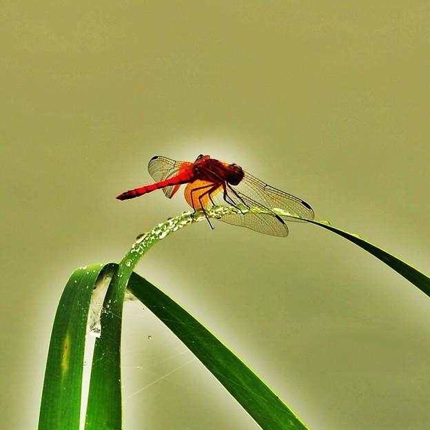 写真: 赤蜻蛉・・・とまっているよ(*´з`)