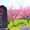 Photos: ジョー山下の桜