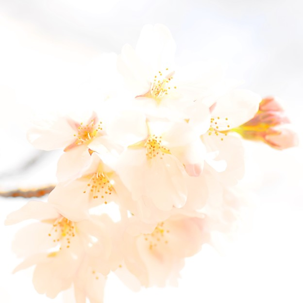 写真: 桜 ~悲しみに似た 薄紅色~