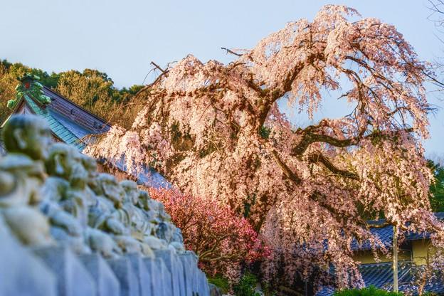 多情仏心 ~龍源寺の枝垂れ桜~