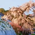 写真: 多情仏心 ~龍源寺の枝垂れ桜~