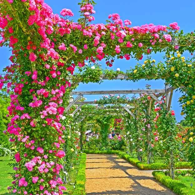 Photos: 薔薇はバラより美しい