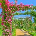 写真: 薔薇はバラより美しい