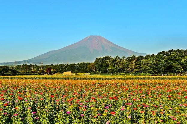 夏富士には、百日草が良く似合う・・・