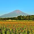写真: 夏富士には、百日草が良く似合う・・・