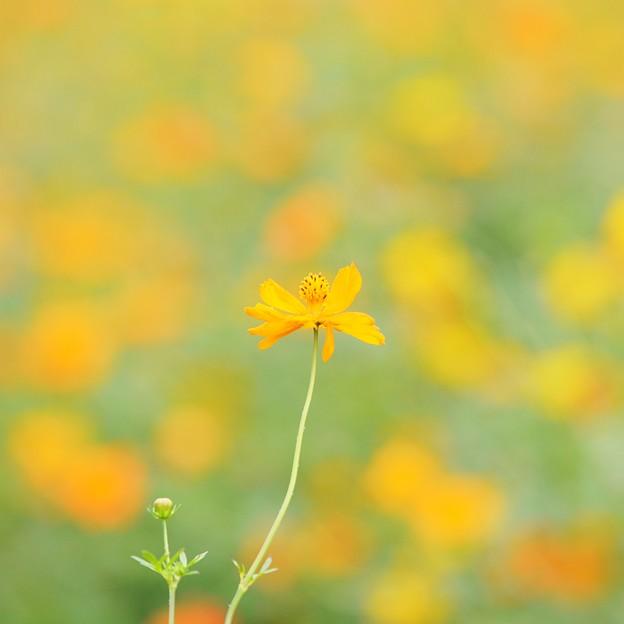 写真: 秋の気配・・・キバナコスモス