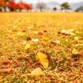 写真: 銀杏紅葉の舞い散る公園で・・・たった今、風が止まった