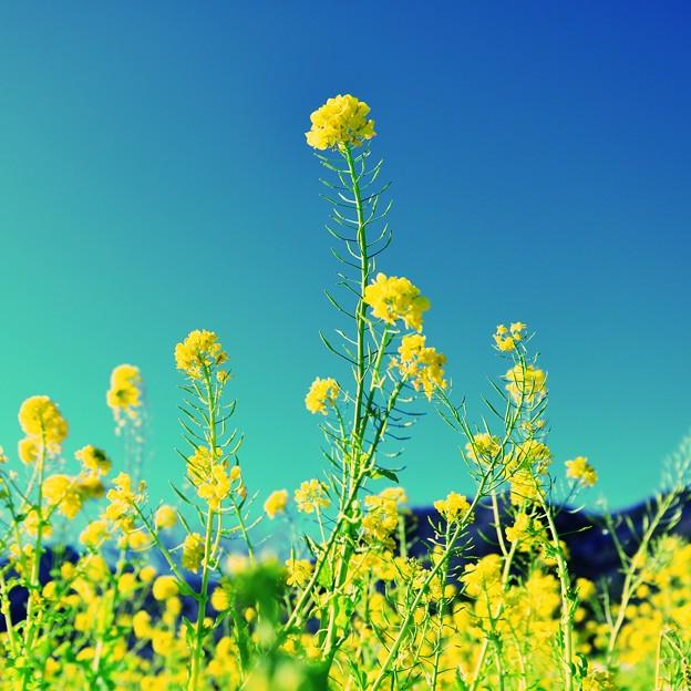 今年最初の菜の花を・・・