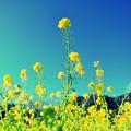 Photos: 今年最初の菜の花を・・・