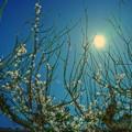 月夜の晩に・・・白梅を撮る