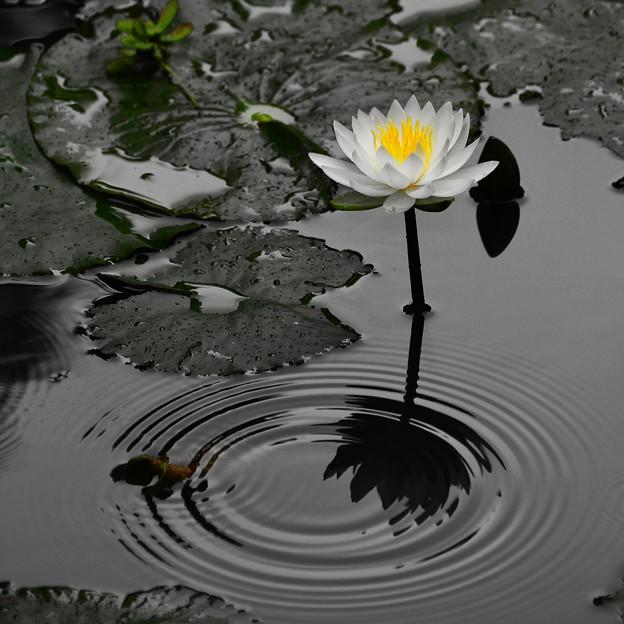 同心円と咲く・・・睡蓮