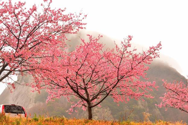 ジョー山下の桜2020