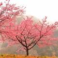 Photos: ジョー山下の桜2020