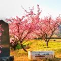 Photos: ジョー山下の桜 2020 ~其の弐~