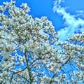 木蘭の香り降る青空