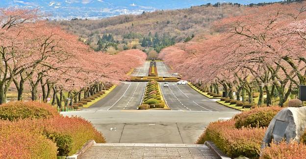 桜道 ~富士霊園~