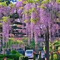 Photos: 藤の花が咲きました・・・今年も