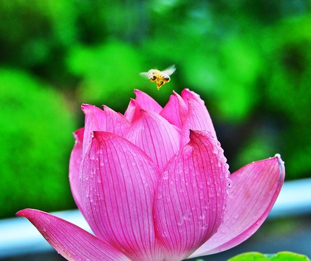呼べよ 花の名前を一つだけ・・・ 蜂と蓮