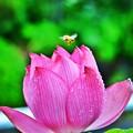 Photos: 呼べよ 花の名前を一つだけ・・・ 蜂と蓮