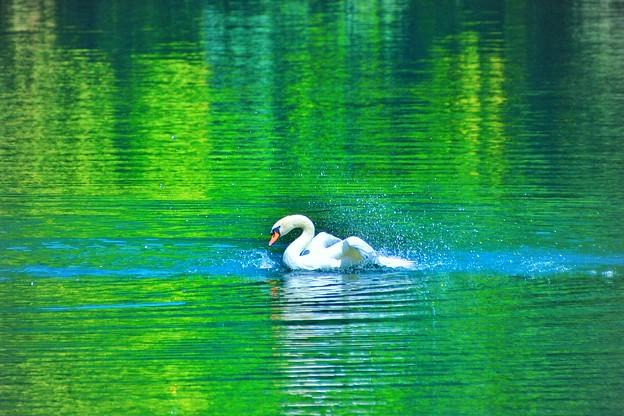 スワンの湖