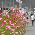 Photos: 想い出の Route254 ~コスモス街道~
