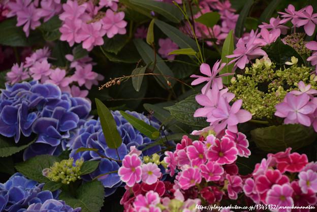 0243 紫陽花たちと向き合う